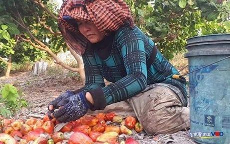 Cashew Farmers in Kompong Thom