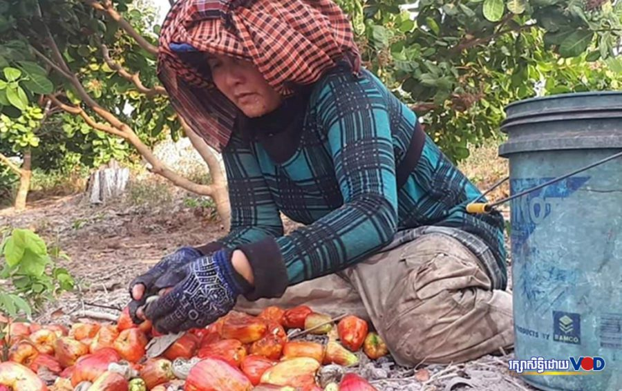 A cashew farmer in Kampong Thom province (Hun Dimo/VOD)
