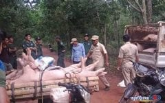 1500 Contraband Hogs Stopped at Border Amid Swine Fever Scare