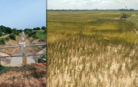 View of rice fields in Battambang province's Thma Koul district in July 2019 (Supplied)