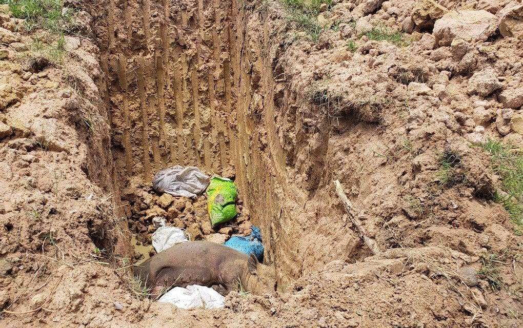 Just a few hundred meters from the village pagoda, agriculture officials responding to an African swine fever outbreak dug a mass grave for pigs where the infected and culled animals were burned and buried. One pig carcass was exposed in the hole when reporters visited Kraing Yov in mid-July 2019. (Danielle Keeton-Olsen)