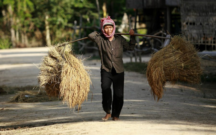 A Cambodian farmer carries intensified rice harvested in the dry season in Tra Lach village, Triang district, Takeo province in December 2010 (Oxfam GB Asia)