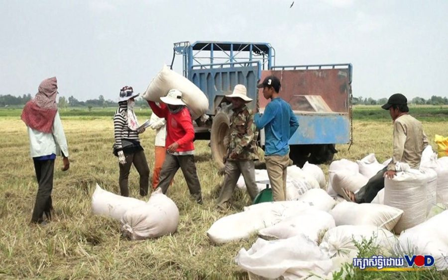 Farmers in Kandal province's Koh Thom district harvest rice in February 2019. (Heng Vichet/VOD)