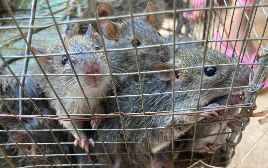 Rice field rats caught in Koh Andet district are sold to brokers for 4,000 to 5,000 riel ($1 to $1.25) a kilogram. (Ananth Baliga/VOD)
