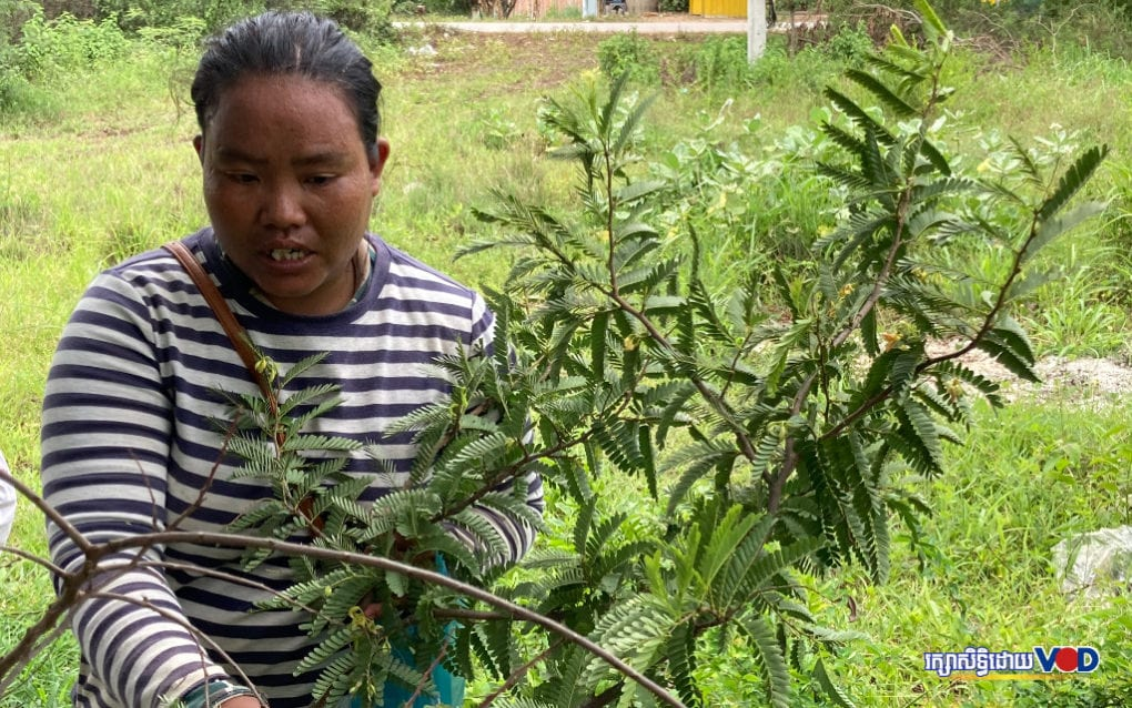 Sum Nop picks fresh tamarind leaves on August 16 in Battamabng province, which she sells in the market, earning around 75 cents for each kilogram she collects. (Ananth Baliga/VOD)