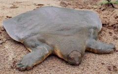 Australian Ambassador Deletes Tweet of 'Farmed' Soft-Shell Turtle Dish