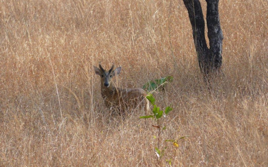Northern red muntjac, seen in the Keo Seima Wildlife Sanctuary in 2020. (Toeu Bann/Wildlife Conservation Society)