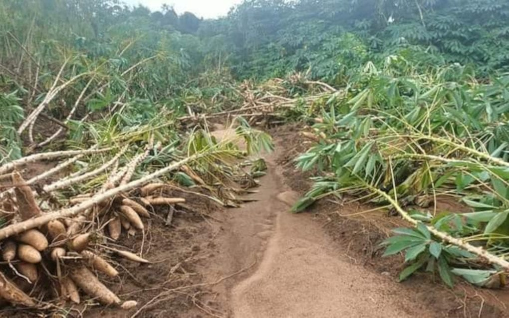 Crops damaged by flooding in Battambang province, in a photo supplied by farmer Phal Sopheap, 30.