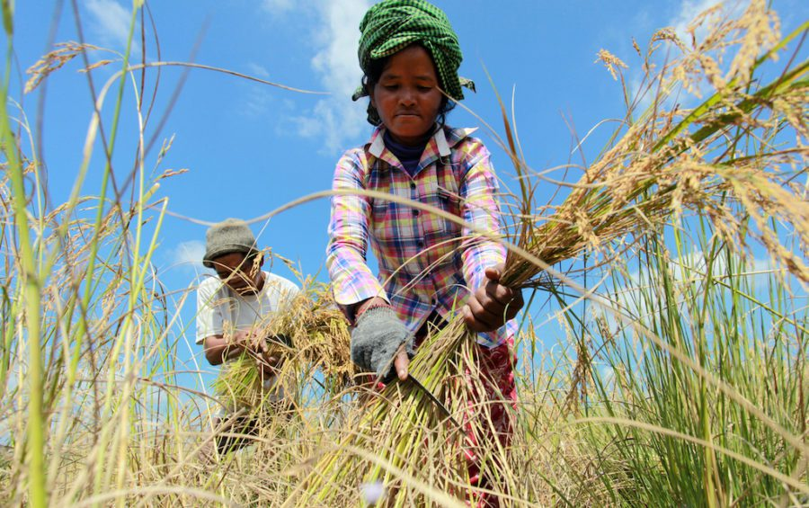 Farmer Men Leng and her husband Rethy Chey harvest their crop in Kampong Speu province's Oral district on December 12, 2014. (Chhor Sokunthea/World Bank)