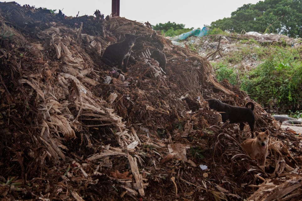 A pack of dogs climb one of the hulking piles of compost next to Battambang's landfill, on November 6, 2020. (Gerald Flynn/VOD)