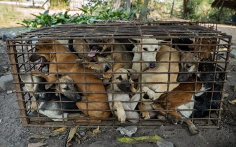 The rescued dogs in Siem Reap province on February 21, 2021. (Kim Chhay/Four Paws)