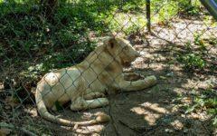 Pet Lion Returned After Support for Owner, Criticism for Wildlife Center