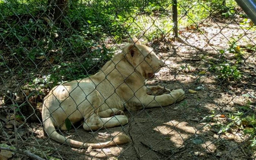 Lion at the Phnom Tamao Wildlife Rescue Center on July 3, 2021. (Keat Soriththeavy/VOD)