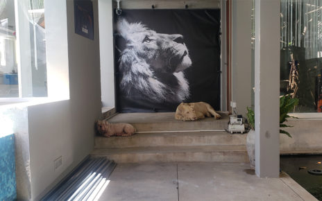 Hei Man, the lion allowed to live in Phnom Penh, sleeps across from his canine companion at the entrance of a Boeng Keng Kang I commune villa on August 16, 2021. (Danielle Keeton-Olsen/VOD)